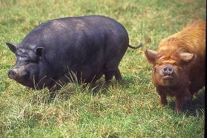 01_14_7---Pot-Bellied-Pig_web