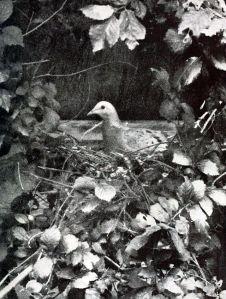 Passenger Pigeon 2